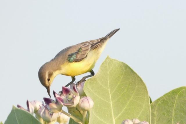 Peter Kaestner shared an image he took of a Nile Valley Sunbird during his presentation about bird watching Oct. 9, 2015 at Camp Lemonnier, Djibouti. During his presentation, Kaestner explained we could stop wherever we are and appreciate the beauty of nature. (Courtesy photo)