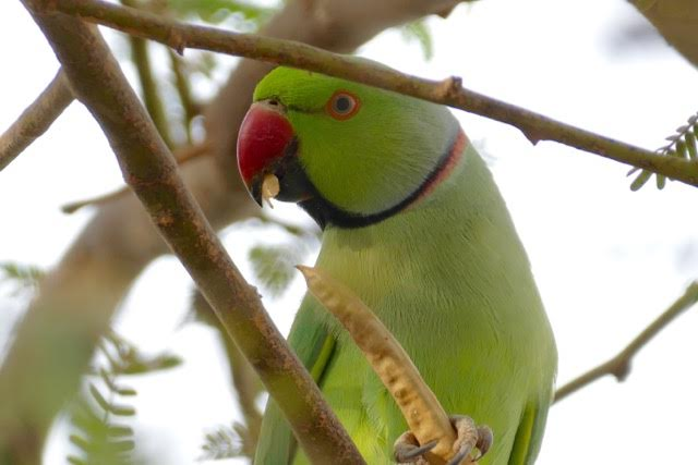 Peter Kaestner shared an image he took of a Rose-ringed Parakeet during his presentation about bird watching Oct. 9, 2015, at Camp Lemonnier, Djibouti. While traveling as a diplomat, Kaestner documented birds all around the globe. (Courtesy photo)