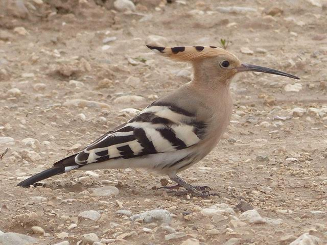 Peter Kaestner shared an image he took of a Eurasian Hoopoe during his presentation about bird watching Oct. 9, 2015, at Camp Lemonnier, Djibouti. Kaestner served as the interim political advisor for Combined Joint Task Force-Horn of Africa's chief of staff. While at Camp Lemonnier he documented more than 100 different birds in less than six weeks. (Courtesy photo)