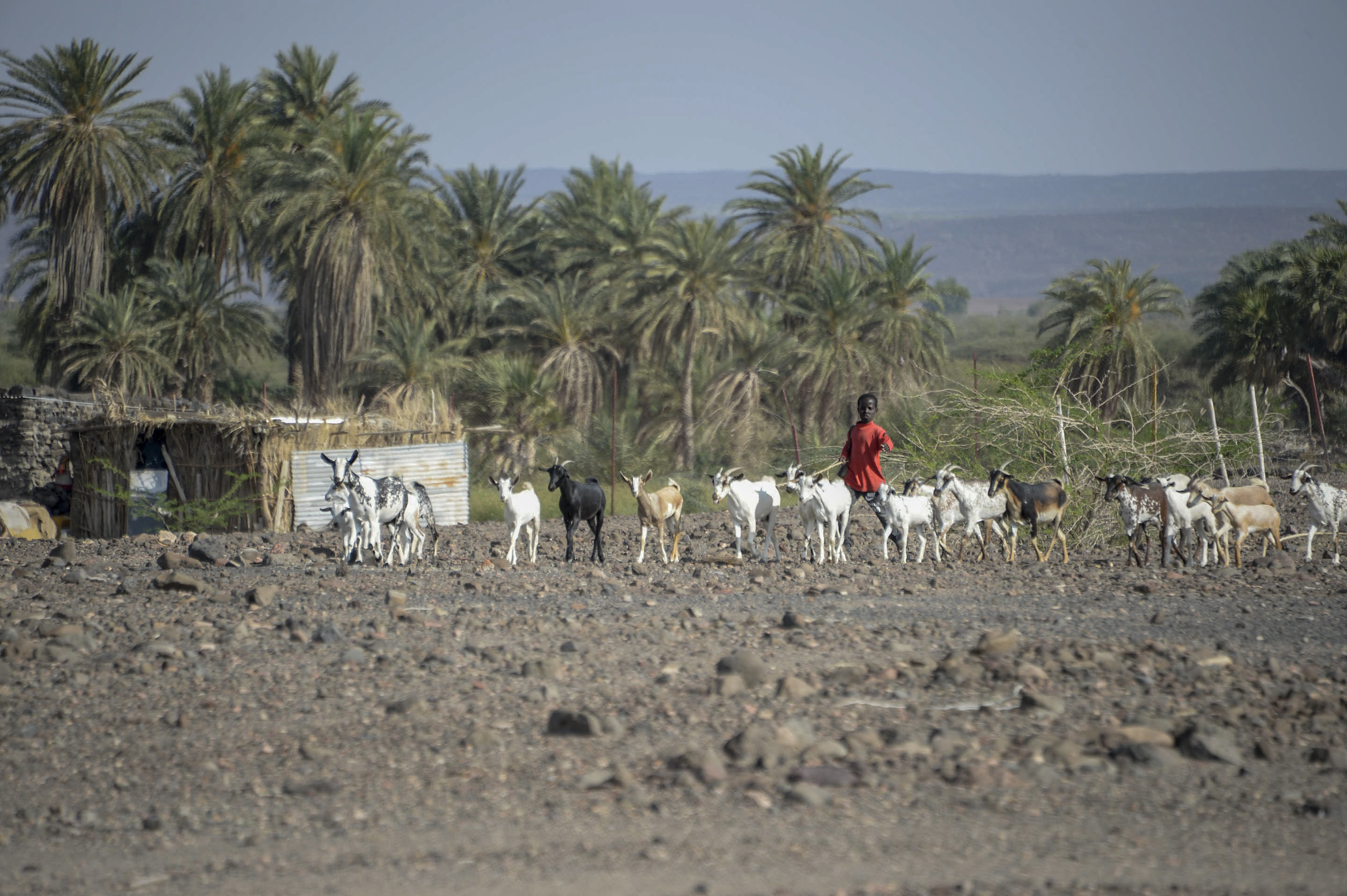 A young Djiboutian boy herds goats toward U.S. Soldiers with the 418th Civil Affairs Battalion Function Specialty Unit (FxSP) in a rural area outside of Dikhil, Djibouti, April 3, 2017. As part of their veterinarian assistance mission, FxSP members administered anti-parasitic medication to ward off the parasites that steal the animal's nutrients and energy, increasing their survivability during the dry summer months. (U.S. Air National Guard photo by Staff Sgt. Christian Jadot)